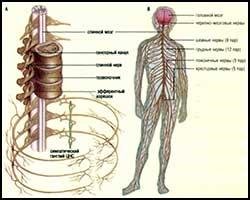 Неврит, лечение неврита, неврит лечение, лекарства от неврита, средства от неврита, как лечить неврит, неврит лечение травами, неврит лечение народное, неврит лечение лазером, неврит лечение пчелами, неврит лечение ультразвуком, неврит лечение магнитом, неврит лечение пчелиным ядом, неврит Дежерина-Сотта, неврит Гомбо, неврит зрительного нерва, неврит кохлеарный, неврит Россолимо, полиневрит, неврит слухового нерва, неврит лицевого нерва, лечение полиневропатии, полиневропатия, полиневропатия лечение. Киев